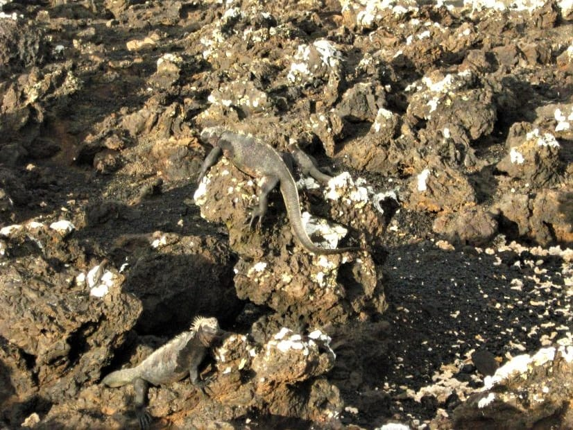 A closer look at the Galapagos iguanas on the lava