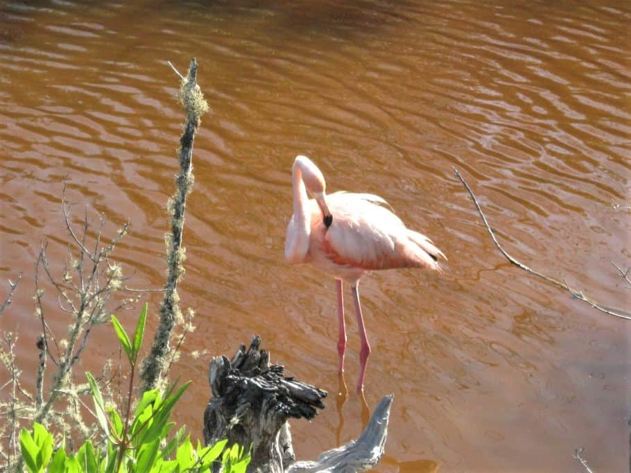 A wild flamingo in a park as I visited the Galapagos