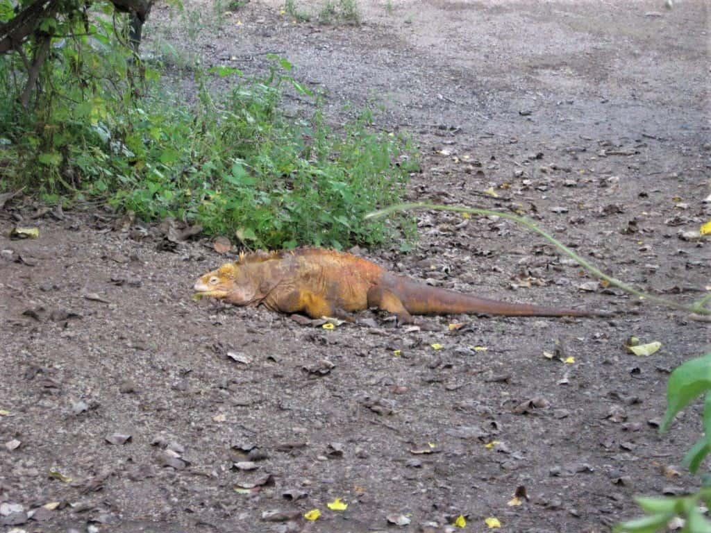 An orange iguana while hiking in the Galapagos