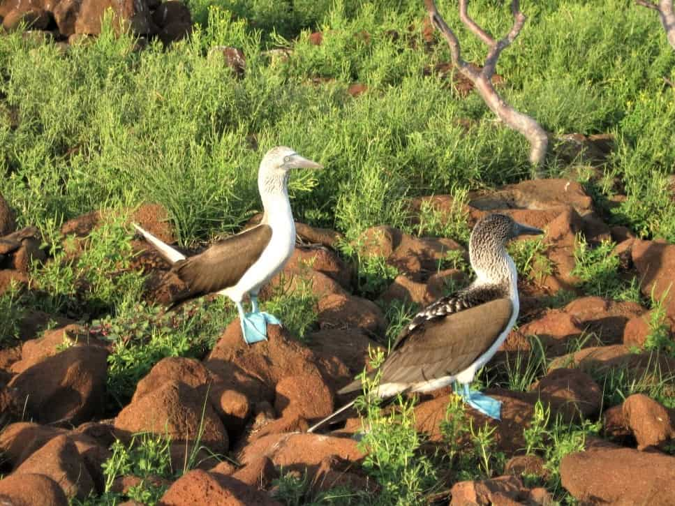 Blue footed boobie who found a mate