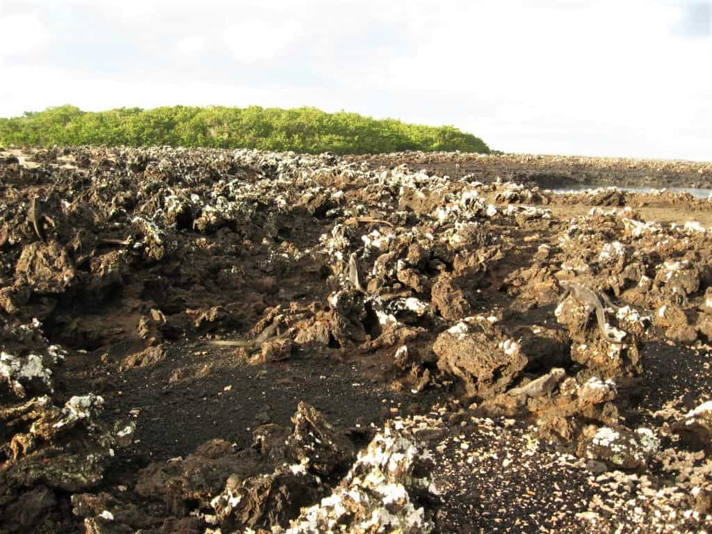 Can you spot the Galapagos iguanas resting on the lava