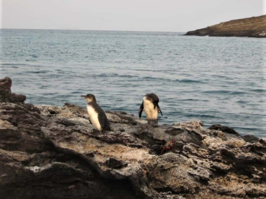 The Galapagos penquins