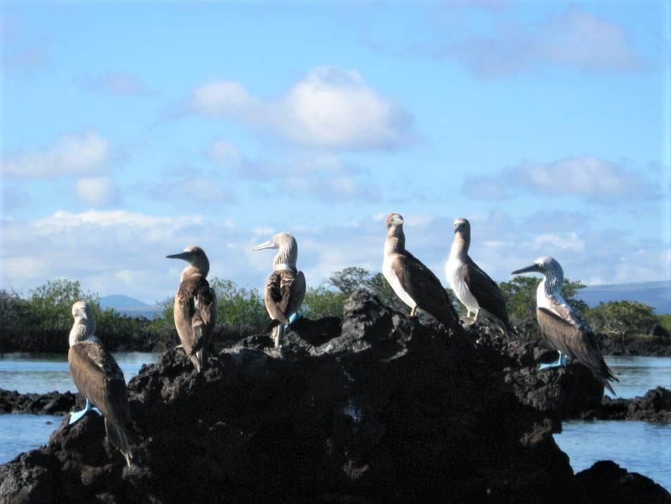The blue footed boobies are one of the highlights of the Galapagos